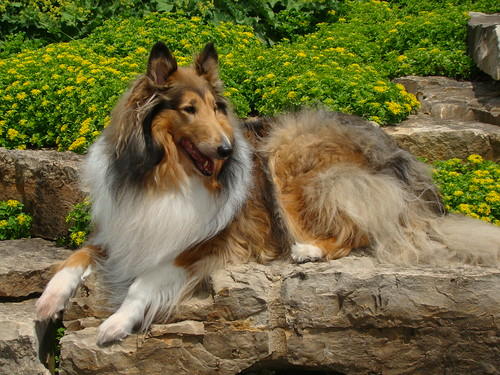 Our Rough Collie kody enjoying a day out | by sylvia1sam