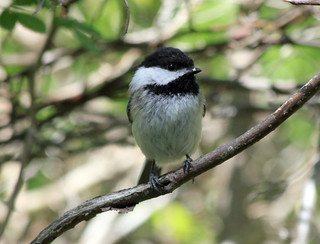 Black-capped Chickadee | by Laura Erickson