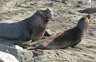 Northern Elephant Seals Violent Mating Games | by jpmckenna - Cathedral Lakes Provincial Park is Nex