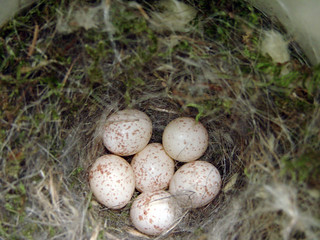 Black-capped Chickadee nest with six eggs | by Laura Erickson