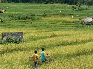 Playing in the rice fields | by East Asia & Pacific on the rise - Blog