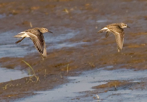 Sandpipers on the run... | by Mike Martin, Wildlife Photography