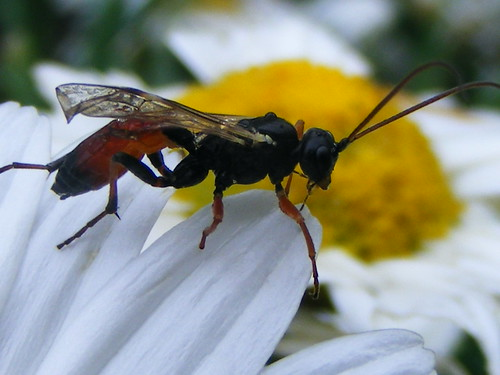 Scary-looking Wasp. | by stormlover2007