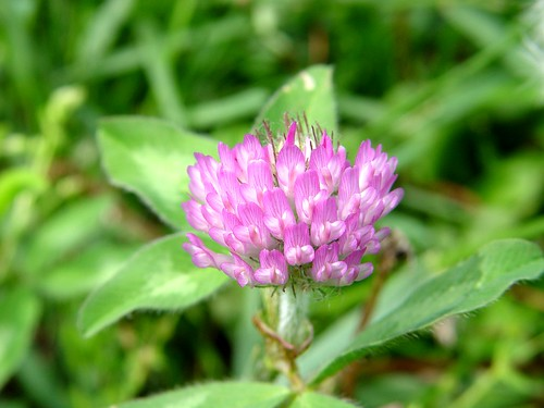 Red Clover Flower | by Mike Tewkesbury