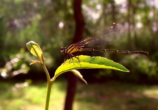The Morning Light and a Damselfly | by Atul Tater