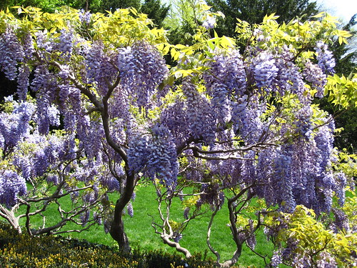 Wisteria | by Brooklyn Botanic Garden