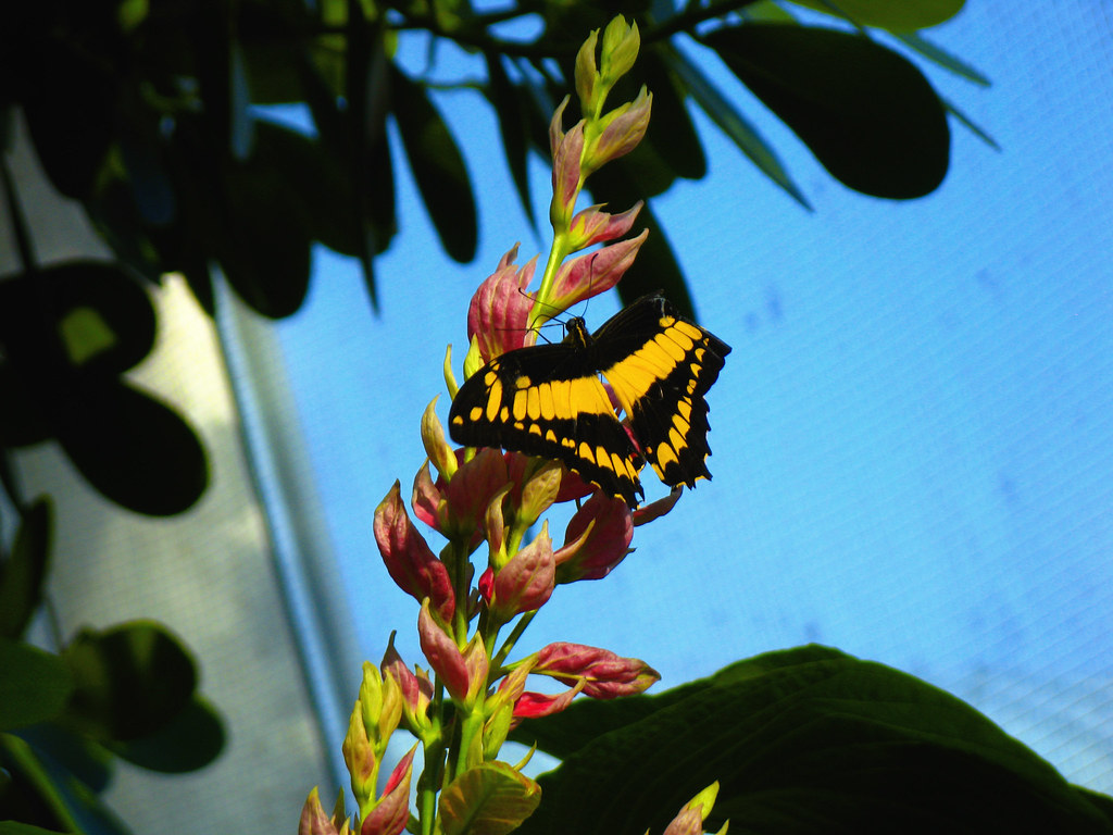 Yellow And Black Butterfly Pink Flowers Nohobot Flickr