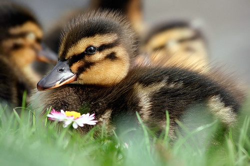 The Duckling and the Daisy | by Roeselien Raimond