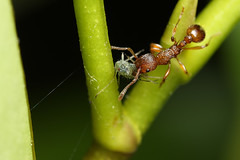 Red ant with aphid | by Lord V