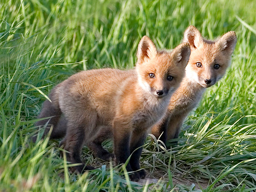Red Fox Pups (Vulpes vulpes) | by johndykstraphotography