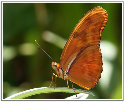 Julia Butterfly | by Aamir Yunus