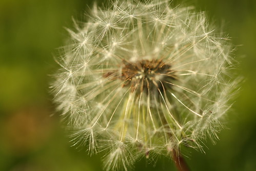 Dandelion | by enmeshed