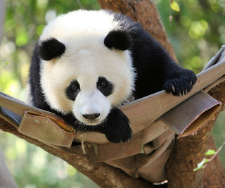 Dedicated to the memory of San Diego Zoo panda narrator Peg Irving. | by kjdrill