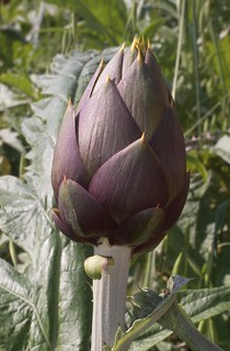 Artichoke - Carciofo | by funadium