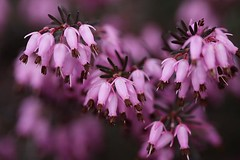 April Heather 2 | by LongInt57
