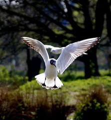 Black- Headed Gull, | by John Hitchings. Photography