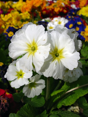 Primulas in the Park | by Dave Roberts3