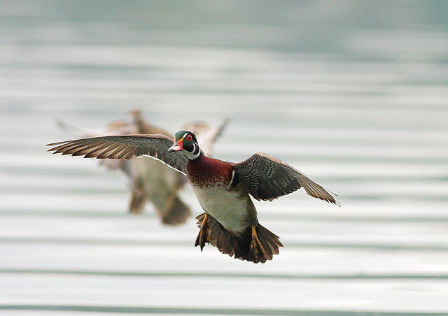 wood duck pair incoming colin clement flickr