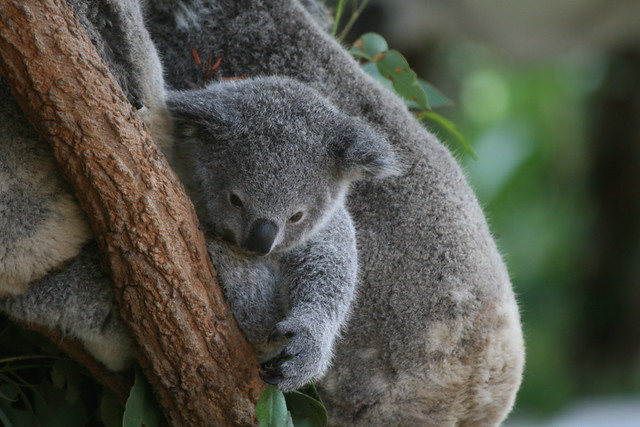 Time almost up for stolen Qld koala joeys