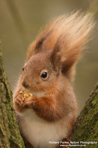 Red Squirrel | by Richard Parker LRPS