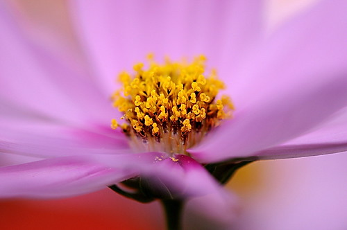 Cosmos taken in this May | by naruo0720