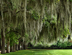 Spanish Moss | by MaryleeUSA