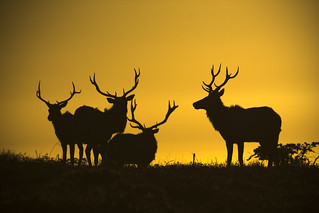"Tule Elk Sunset Silhouette ""Point Reyes"" 