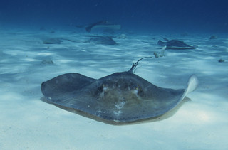 Stingray City, Grand Cayman | by barrypetersphoto