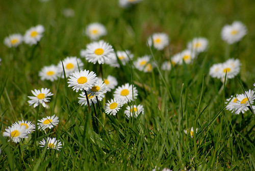 Daisies | by JTD-Matt