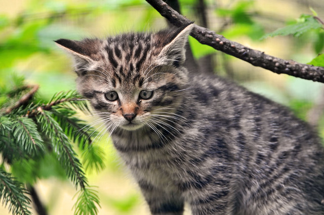 Wild kitty
