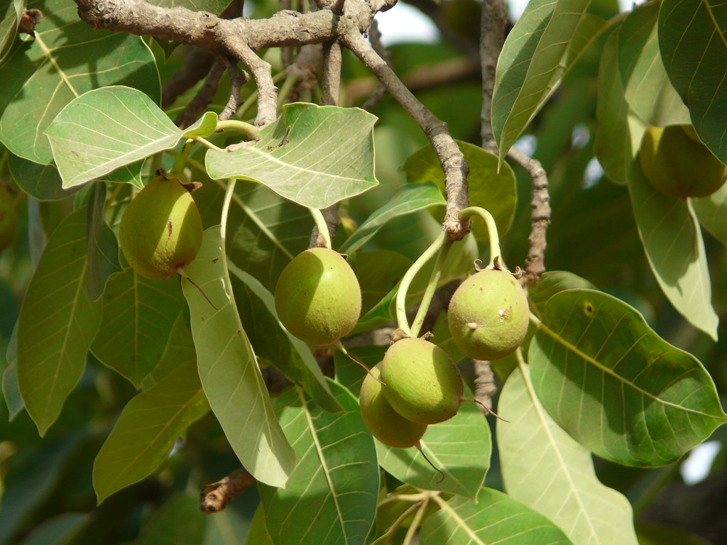 Eight Bird Attractive Trees Of India To Grow In Your Home Garden
