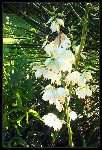 Yucca Plant in Bloom | by snow41