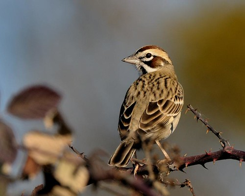 Lark Sparrow | by hearman