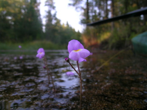 Image result for purple utricularia
