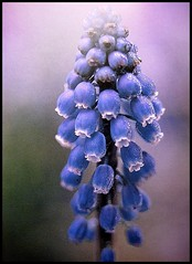 Muscari armeniacum | by Gery Singer