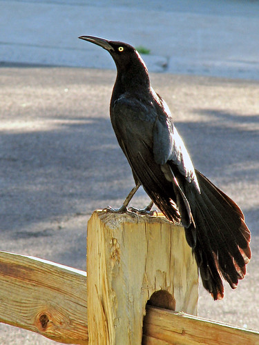 Daddy Grackle | by irinsmith