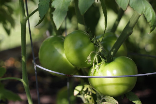 green tomatoes | by artsy-crafty babe