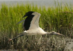 Wood Stork in Flight | by Skipbro