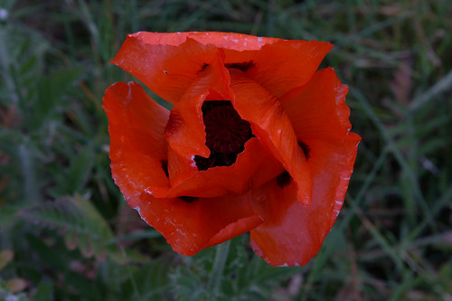 Poppy | by bda668