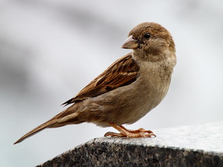 Sparrow at Navy Memorial | by Mr.TinDC