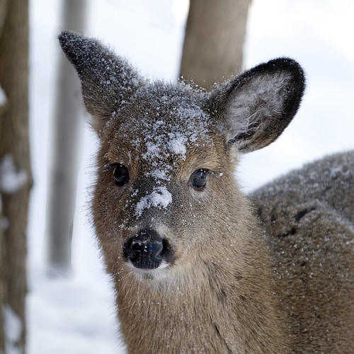 Deer in Snowy Woods | by Vermont Lenses