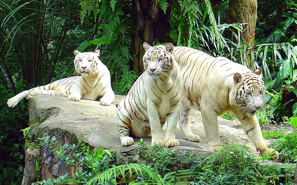 Image result for singapore zoo white tiger