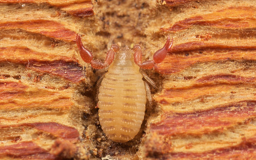Chernes cimicoides (a Pseudoscorpion) 3 | by Jonathan (chirpy)