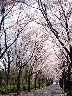Sakura tunnel | by Blue Lotus