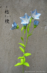 Origami Balloon Flower Or Platycodon Grandiflorus Flickr