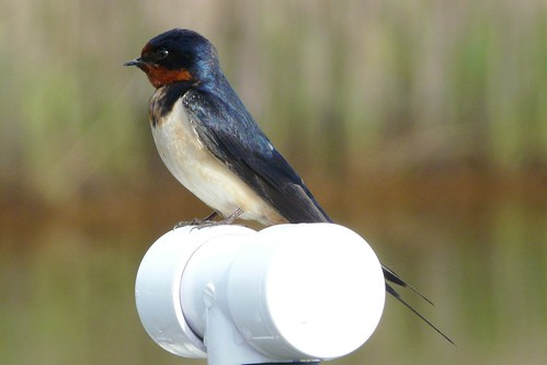 Barn Swallow | by Shawn Wainwright