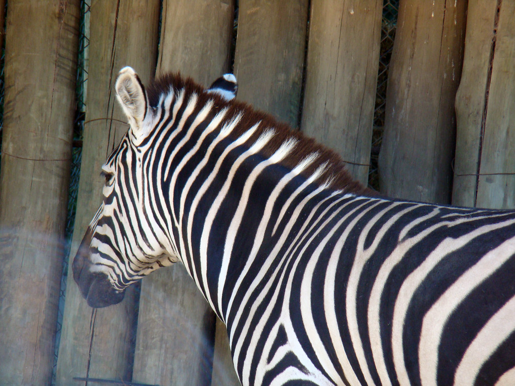 grevys zebra pronunciation