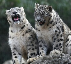 Han right Suou left | by Snow Leopard Trust