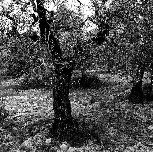 Matrimonio Tra Gli Ulivi Toscana : Tra gli ulivi di toscana to my friend tmax explore