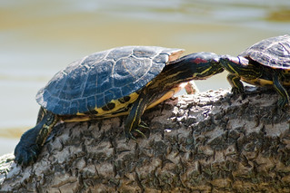 Turtle Kisses | by Dave Schumaker